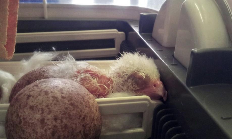 Только что вылупившийся птенец сапсана-альбиноса