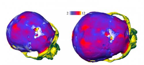 Распределение толщины костей черепа особи LB1— голотипа Homo floresiensis.