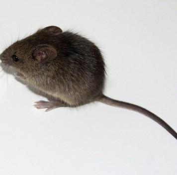 Ещё один способ продлить жизнь подопытных мышей