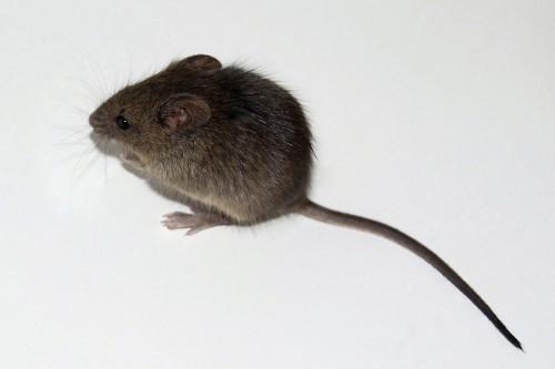 Медианная продолжительность жизни мышей судалёнными дряхлыми клетками была продлена на17—35%