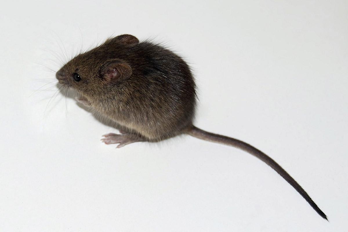 Медианная продолжительность жизни мышей судалёнными дряхлыми клетками была продлена на17—35%.