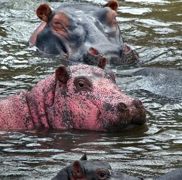 В Кении сфотографировали розового бегемота