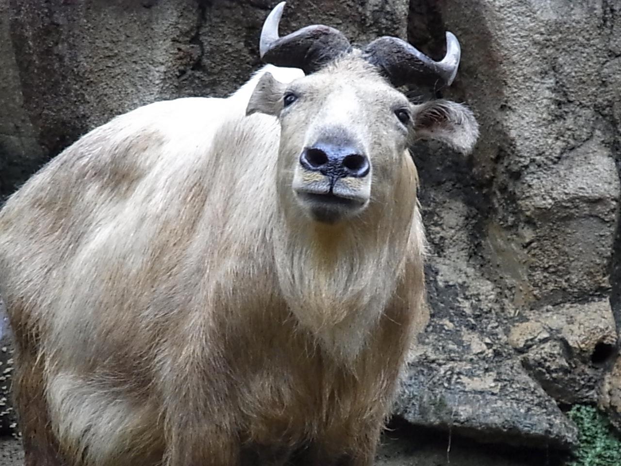 Такин, один из видов, которые водятся отчасти ивохраняемых ареалах панд. Фото: Lucy Takakura/Flickr