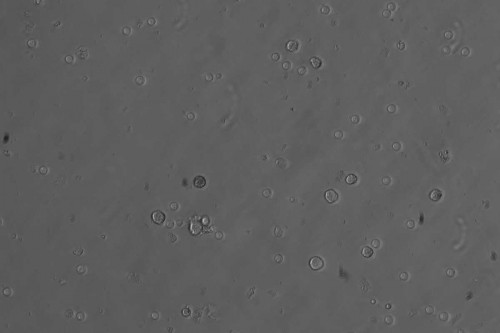 Искусственные сперматиды мыши
