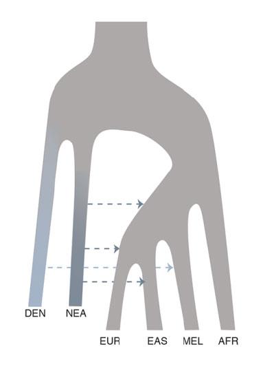 История смешения человеческих популяций, согласно данным из статьи. DEN— денисовцы, NEA— неандертальцы, EUR— европейцы, EAS— восточные азиаты, MEL— меланезийцы, AFR— африканцы.