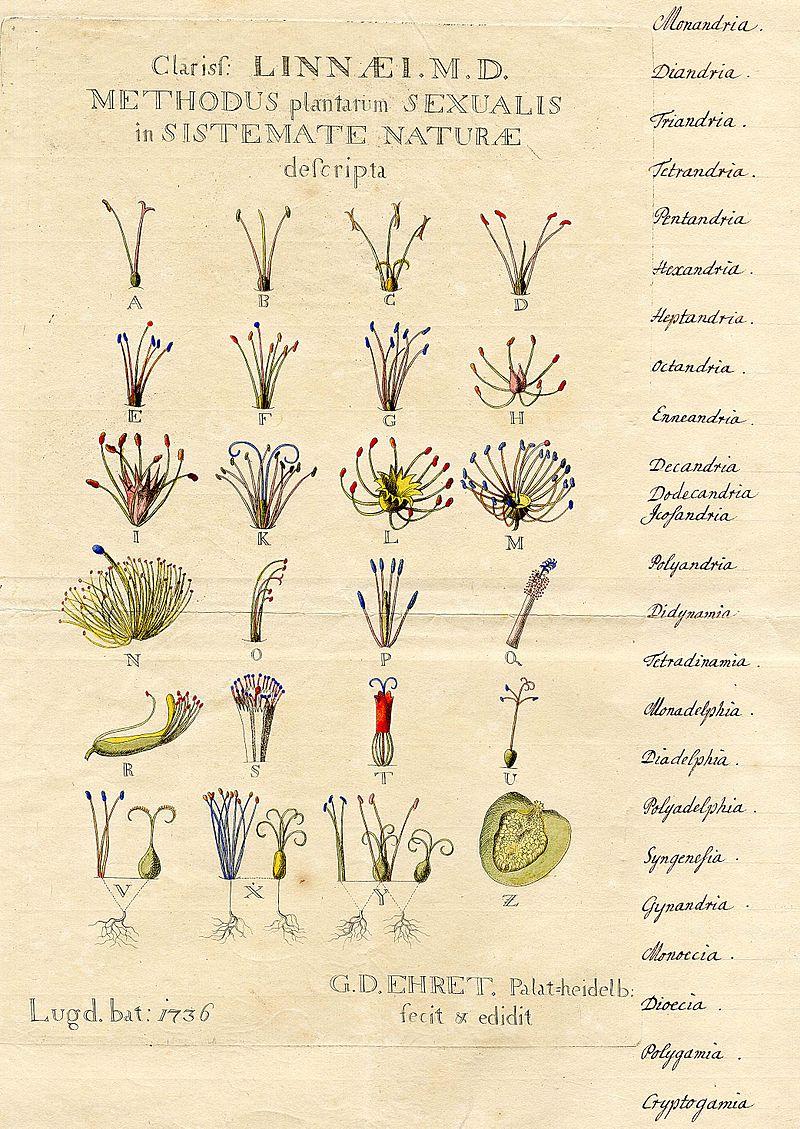 Сегодня происходит непервая революция «больших данных». Первой был взрыв всборе данных вначале XIX века. | Иллюстрация— линнеева классификация растений