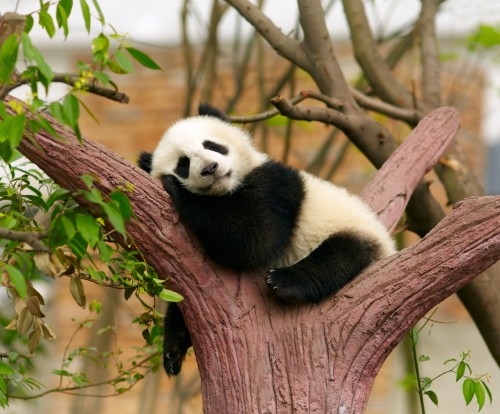 Спящий детёныш панды. Фото: silverjohn/Depositphotos
