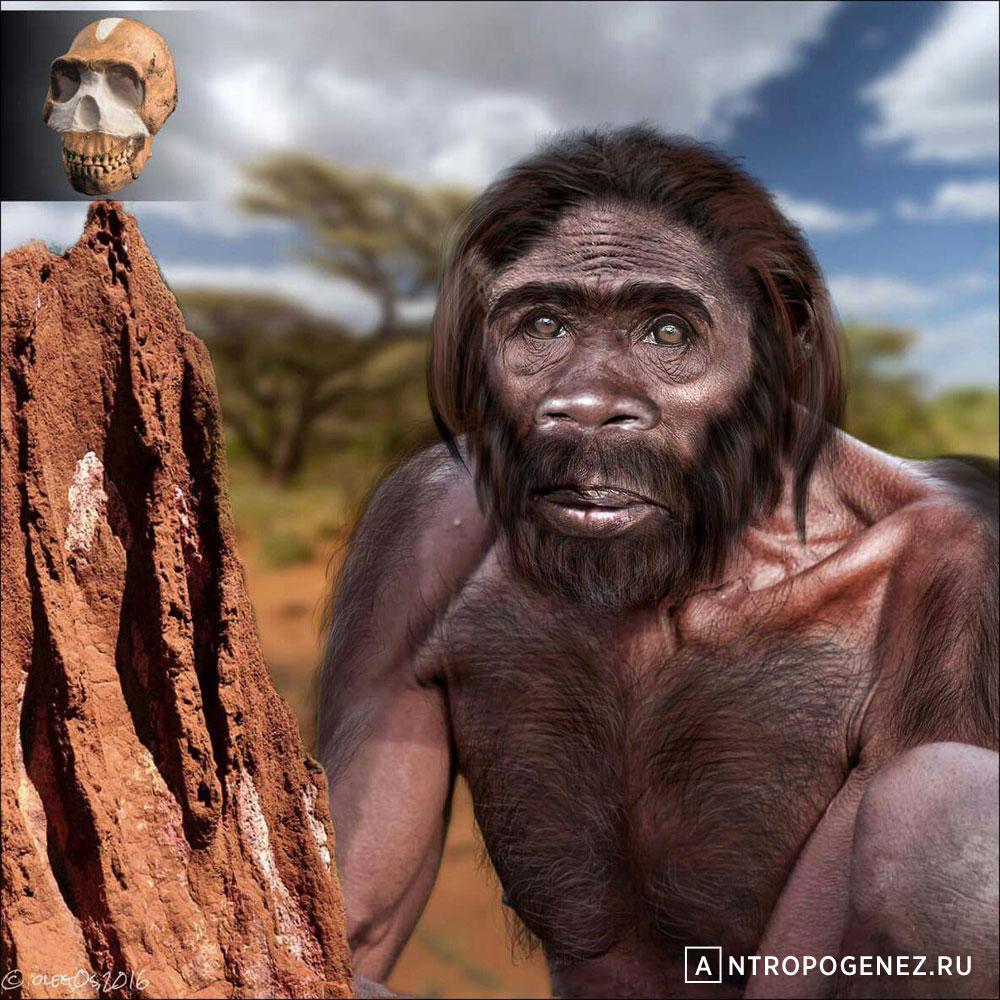 <i>Homo naledi</i>. Реконструкция Олега Осипова для АНТРОПОГЕНЕЗ.РУ