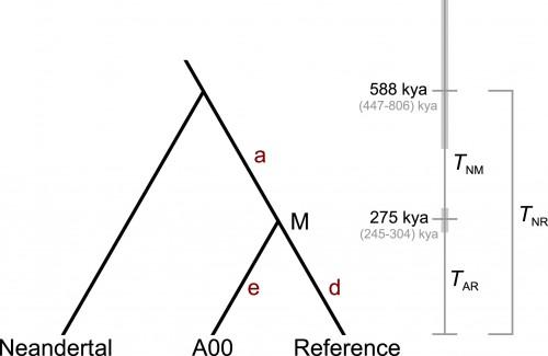 Время существования последнего общего предка сапиенсов инеандертальцев (TNR), последнего общего предка всех сапиенсов (TAR).
