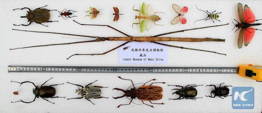 Новый гигантский палочник вколлекции Западно-китайского музея насекомых.