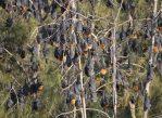 Власти штата Новый Южный Уэльс выделили 2,5 миллиона австралийских долларов на решение проблемы с летучими лисицами в городе Бейтменс-Бей