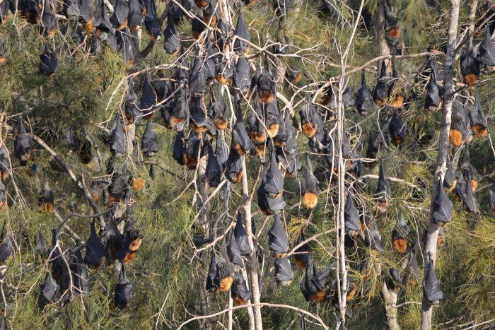 Власти штата Новый Южный Уэльс выделили 2,5 миллиона австралийских долларов нарешение проблемы слетучими лисицами вгороде Бейтменс-Бей