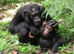Самка шимпанзе с детёнышем.