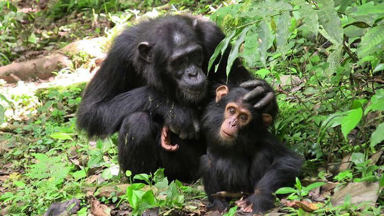 Самка шимпанзе сдетёнышем.