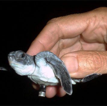 Искусственное освещение сбивает столку детёнышей морских черепах