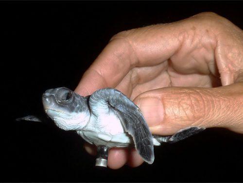 Детёныш зелёной черепахи сприкреплённым кнему акустическим передатчиком