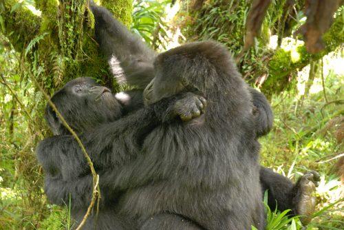 Профессору Сирилу Грютеру удалось сфотографировать, как две гориллы-самки занимаются сексом друг сдругом
