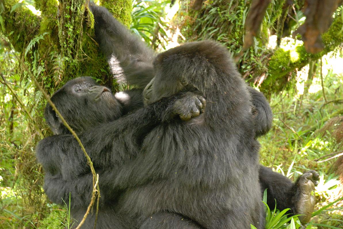 Профессору Сирилу Грютеру удалось сфотографировать, как две гориллы-самки занимаются сексом друг сдругом.