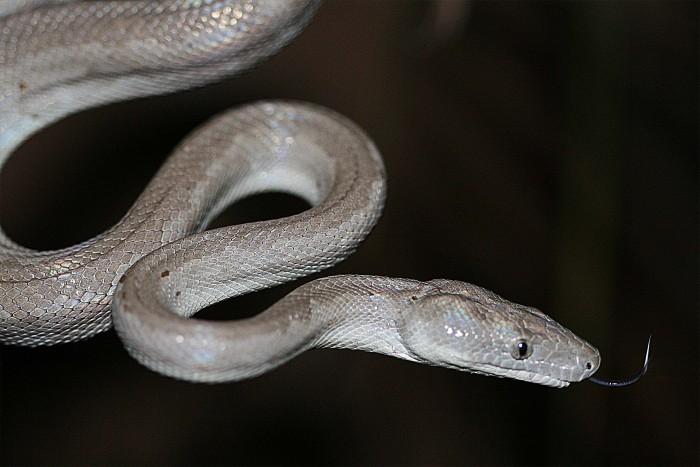 Chilabothrus argentum. Автор фото— Грэм Рейнольдс.