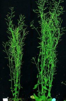 Учёные нашли возможный способ существенно увеличить урожайность