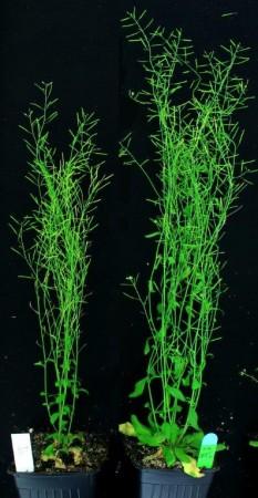 Резуховидка Таля. Слева— дикое растение, справа— генетически модифицированный экземпляр.