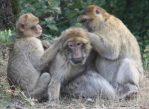 Маготы - обезьяны, демонстрирующие сложное социальное поведение