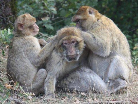 Маготы— обезьяны, демонстрирующие сложное социальное поведение