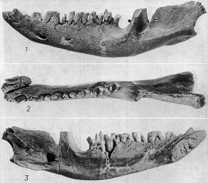 Нижняя челюсть североамериканского сумчатого млекопитающего Eodephis browni, вымершего вконце мелового периода