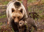 Чтобы защитить медвежат от практикуемого взрослыми медведями-самцами инфантицида, медведицы с потомством держатся ближе к человеческому жилью.
