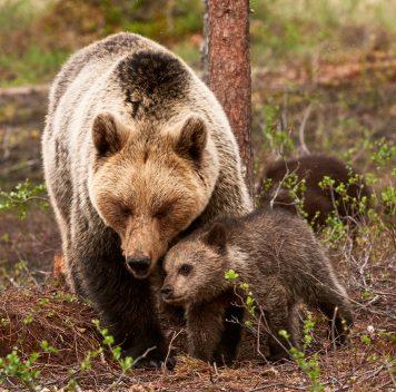 Медведицы приближаются клюдям для защиты детёнышей от самцов