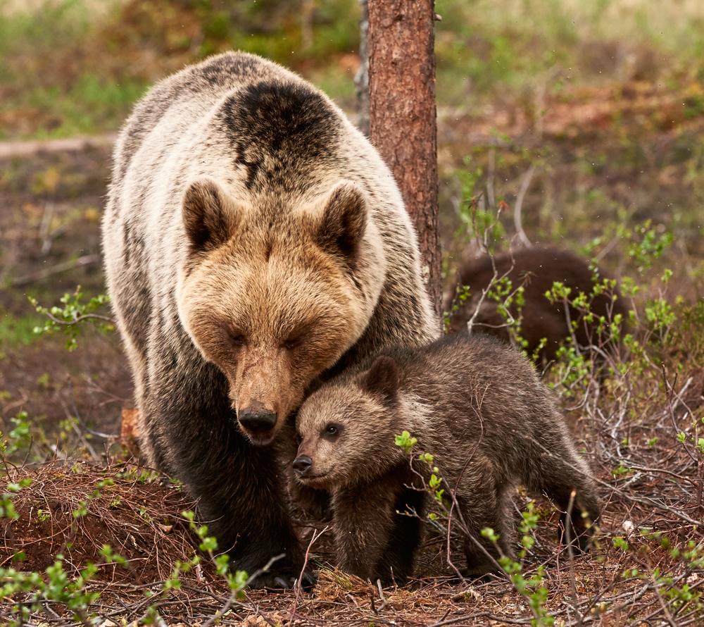 Чтобы защитить медвежат от практикуемого взрослыми медведями-самцами инфантицида, медведицы спотомством держатся ближе кчеловеческому жилью.