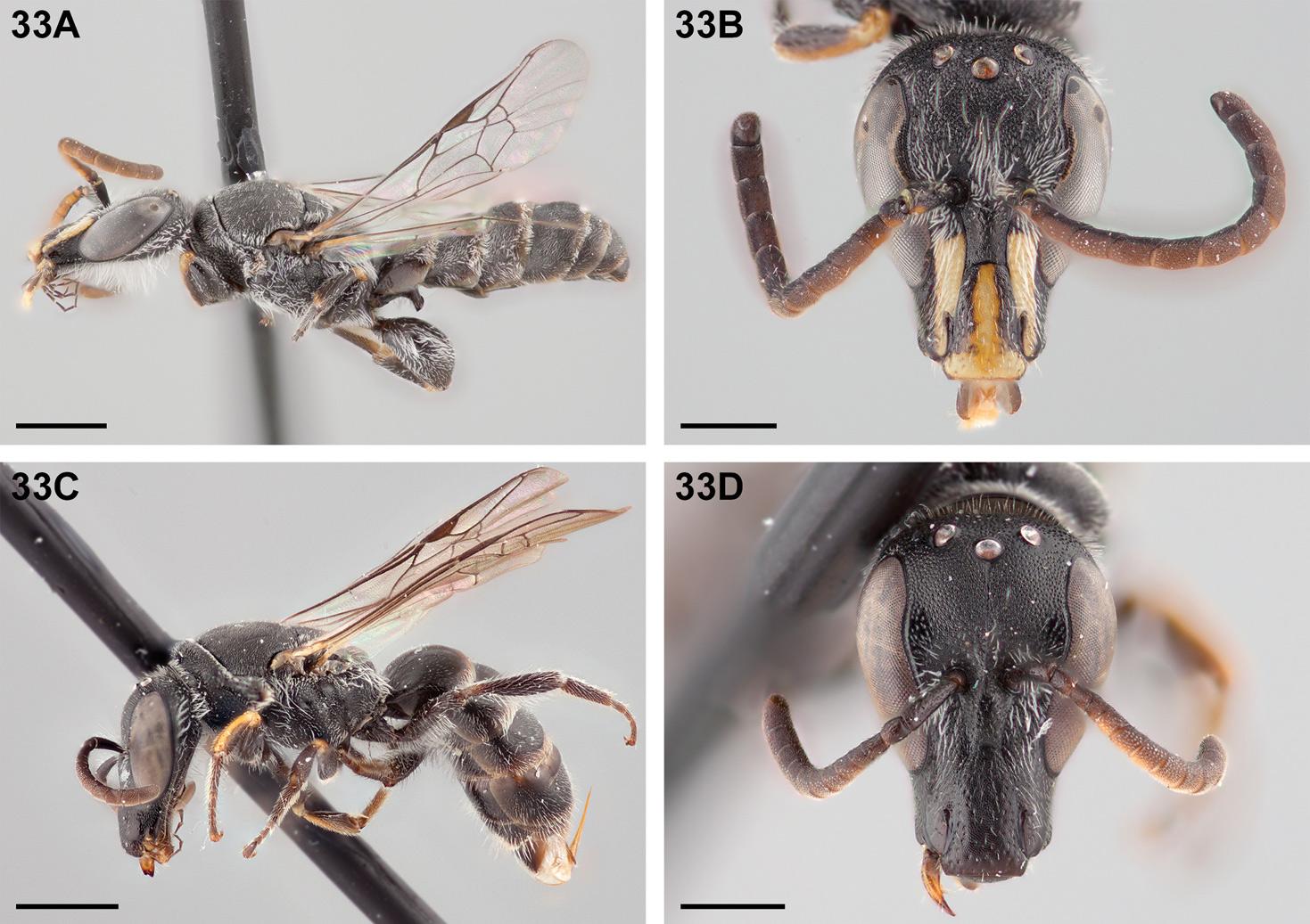 <i>Chilicola charizard</i>. Фото Спенсера Монктона. 33А— самец, общий вид, масштабная линейка— 1 мм; 33B— голова самца, масштабная линейка— 0,5 мм;  33C— самка, общий вид, линейка 1 мм; 33D— голова самки, линейка 0,5 мм.