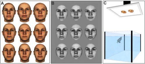 Учёные использовали набор из 62 европеоидных женских лиц. Входе первого испытания (рисунок А) рыбы выбирали фотографии, накоторых изображено нетолько лицо, но ихарактерная форма головы. Для второго эксперимента (рисунок B) фото отредактировали.