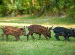 Одичавшие свиньи - инвазивный вид, наносящий большой ущерб сельскому хозяйству
