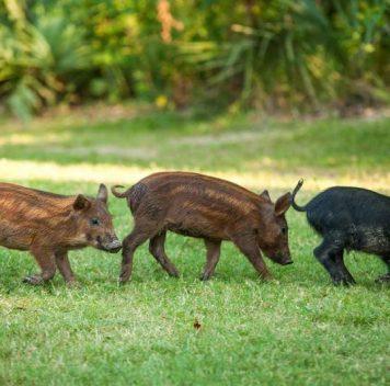 Магнитные поля могут помочь контролировать миграции диких свиней