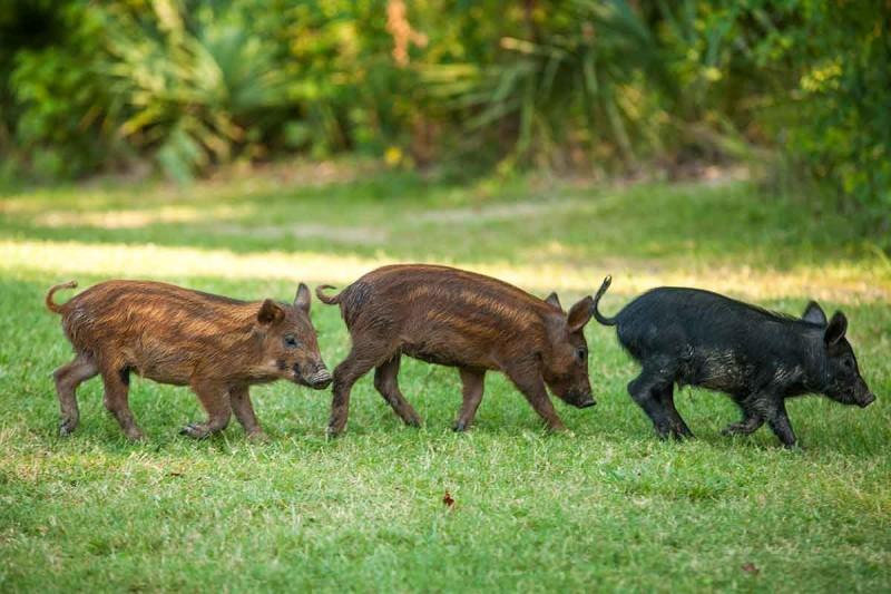 Одичавшие свиньи— инвазивный вид, наносящий большой ущерб сельскому хозяйству.