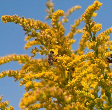 Цветочная пыльца стала менее питательной из-за углекислого газа