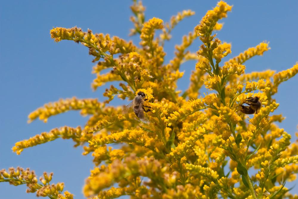 Пчёлы нацветах золотарника