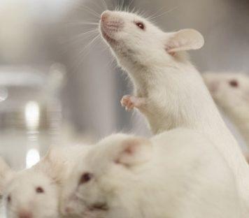 Учёные стёрли память мыши, «выключив» ген