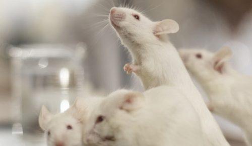 После того, как мышам «отключили» ген NPTN, они утратили все воспоминания отом, чему научились входе тестов.