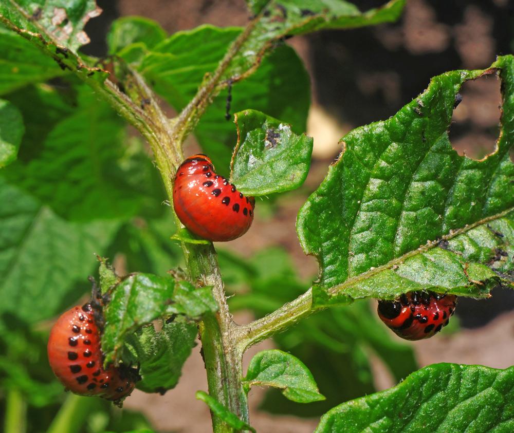 Личинки колорадского жука накартофельной ботве