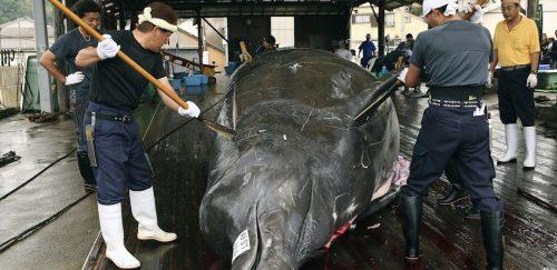 Разделка китовой туши. Япония. 2006 год