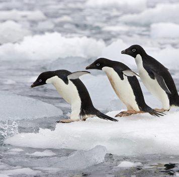 Популяция пингвина Адели сократится на60%