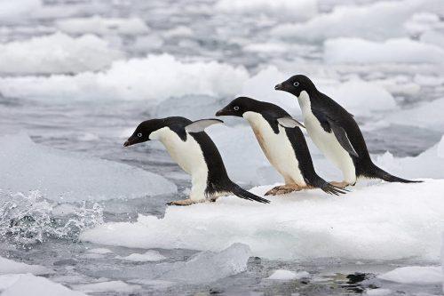 С марта по октябрь пингвины живут воткрытом море среди льдов.