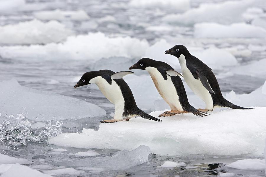 Смарта по октябрь пингвины живут воткрытом море среди льдов.