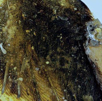 Найдены прекрасно сохранившиеся перья крошечных летающих динозавров