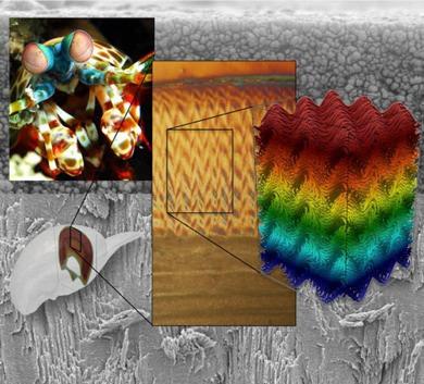 Структура внешнего слоя хитиновых покровов «ударного региона» передней ноги рака-богомола