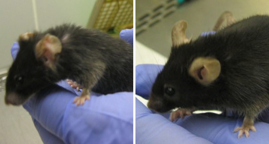 Две пожилые мыши. Пересадка митохондрий вэтот раз пошла напользу.