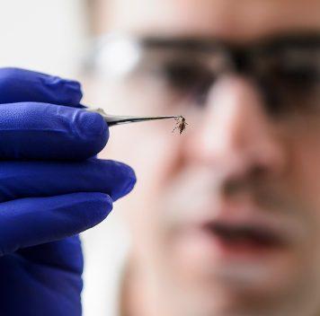 Бактерия Wolbachia мешает комарам переносить вирус Зика