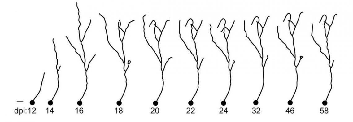 """Двухмерные проекции, демонстрирующие изменения новых гранулярных клеток во взрослом организме. Наоси dpi обозначены дни, прошедшие смомента инъекции флуоресцентного белка вмозг мыши (""""days postinjection"""")."""